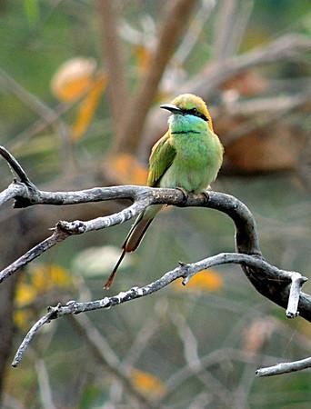 Little Green Bee-eater (Merops orientalis).