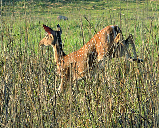 Spotted deer/chital (Axis axis), doe.