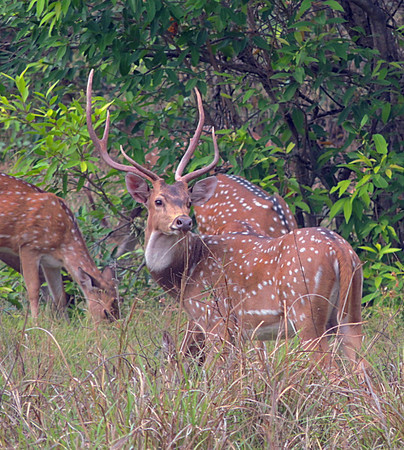 Spotted deer/chital (Axis axis), stag with does in background
