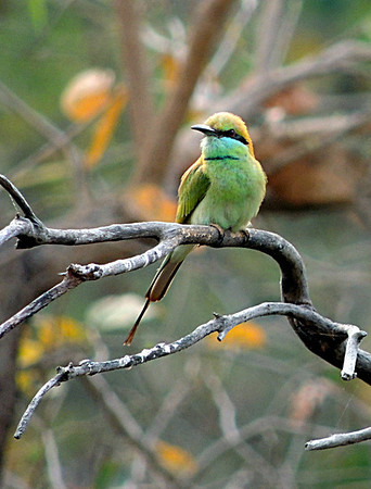 Little Green Bee-eater (Merops orientalis).
