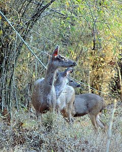 Sambar (Rusa unicolor) does