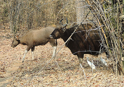 Gaur/Indian bison bull and cow (Bos gaurus)