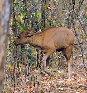 Gaur/Indian bison calf (Bos gaurus)