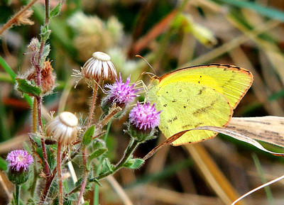 Common Grass Yellow butterfly, (Eurema hecabe; family Pieridae.).