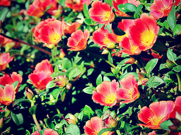 Common rockrose (Helianthemum nummularium) - red cultivar in a garden in Muscat, Oman.