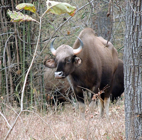 Gaur/Indian bison bull (Bos gaurus)