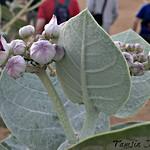 Sodom's Apple Milkweed with Ants