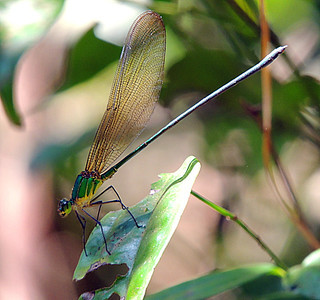 Morning glory damsel fly