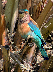 Colorful Indian roller on palm